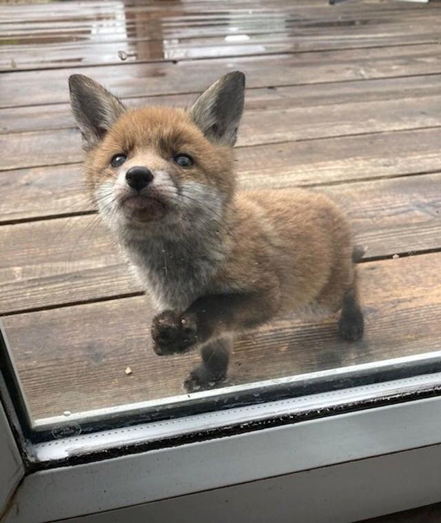 """""""Ova lisica već nekoliko dana navraća u naše dvorište i jako je prijateljski nastrojena..."""