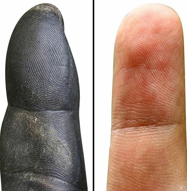 Otisak prsta čimpanze i čovjeka