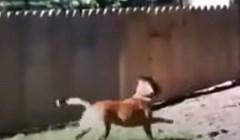 Tipu je kujica stalno bježala preko ograde pa je podigao novu. Pogledajte što se onda dogodilo
