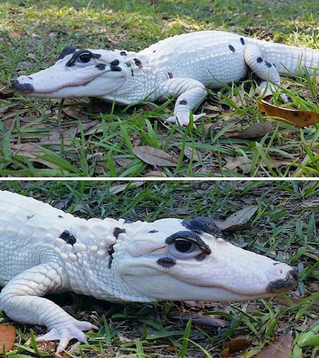 Leucistički aligator- nije albino jer ima obojene oči
