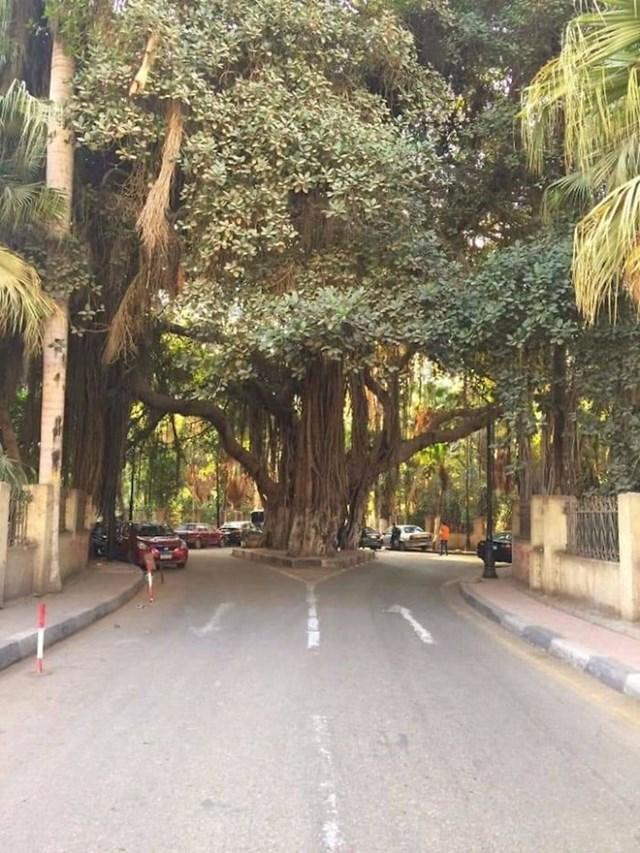Ogromno stablo u Egiptu