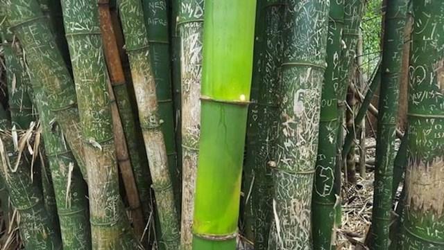 Bambus kojeg nije dotakla ljudska ruka i oni koje je uništila