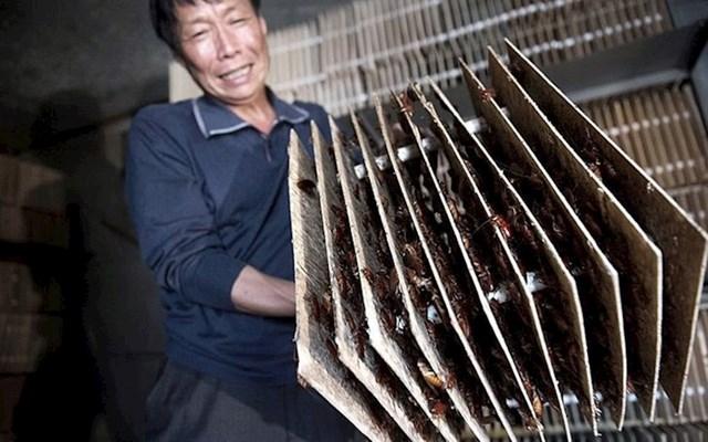 Farme žohara, za potrebe farmaceutske industrije, dobar su izvor prihoda u Kini