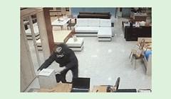 Smotanog lopova karma stigla na presmiješan način; skoro pa bi ga čovjek žalio!