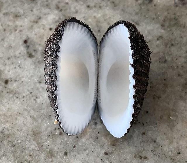 Školjka koja izgleda kao kokos