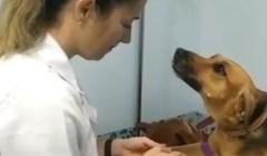 VIDEO Najslađi donor krvi ikada! Pogledajte s kolikim povjerenjem se prepustio veterinarki