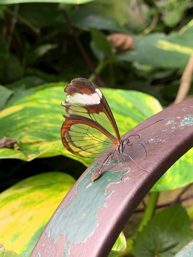 Leptir s prozirnim krilima