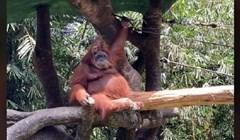 Posjetiteljici ZOO-a su sunčane naočale upale u kavez orangutana; ono što je uslijedilo je urnebesno