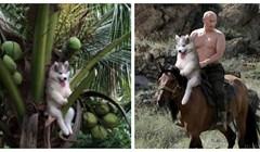 Haski je zapeo na stablu, a onda postao viralni hit zbog preludih fotki u koje je umetnut