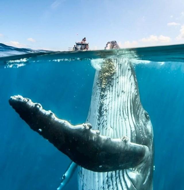 Plavetni kit u punom sjaju