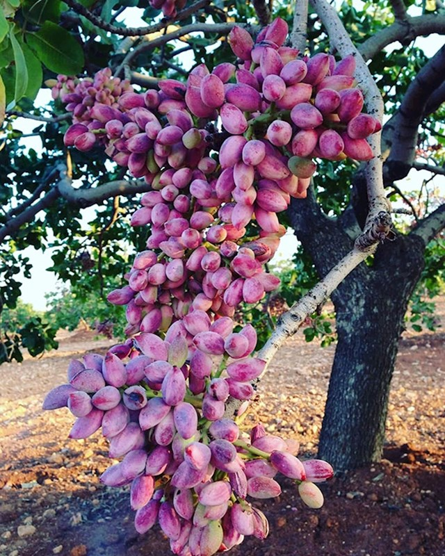 Biljka pistacio