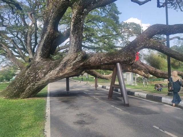 Metalni stupovi kao potporanj stablu starom 130 godina