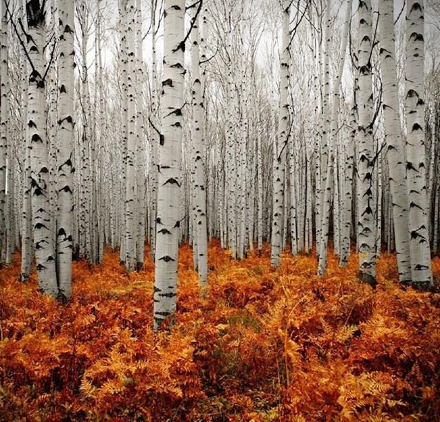 Šume Aspena