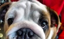 Bulldog Buddy