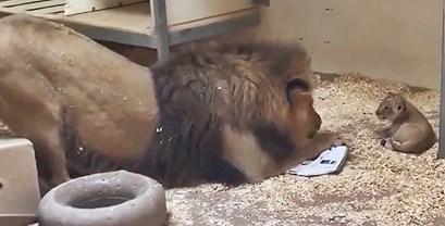 Tata lav se spuštao i saginjao kako bi prvi put vidio svoju bebu, a zoološki vrt podijelio je preslatki video