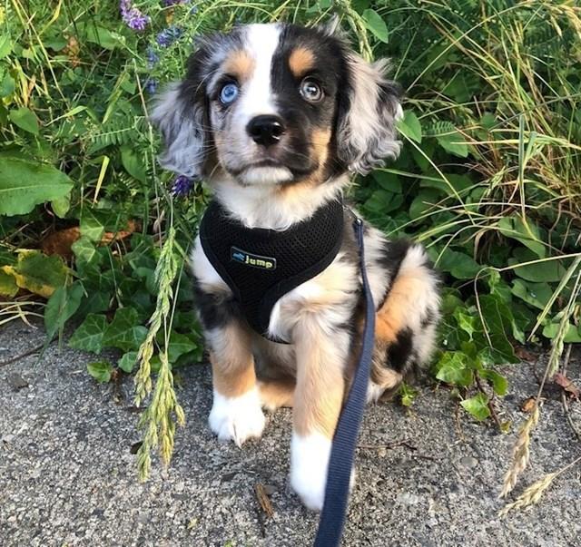 Aussalier je mješanac Aussie psa i Cavalier španijela.