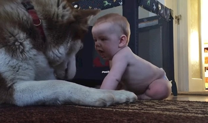 Snažna beba je prišla haskiju i bez problema ga svladala, ništa joj nije mogao