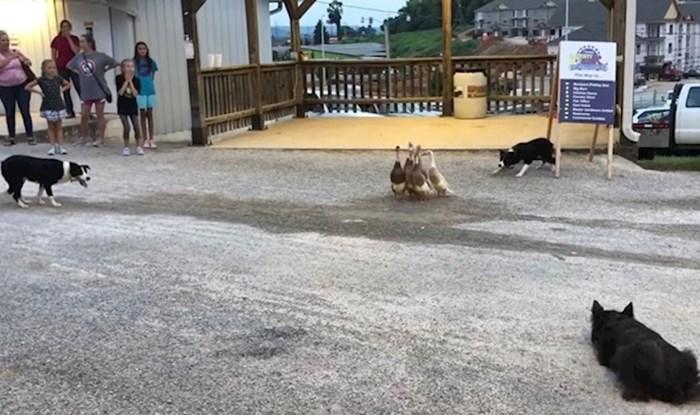 Psi su se počeli polako približavati patkama, pogledajte zbog čega su na kraju dobili pljesak