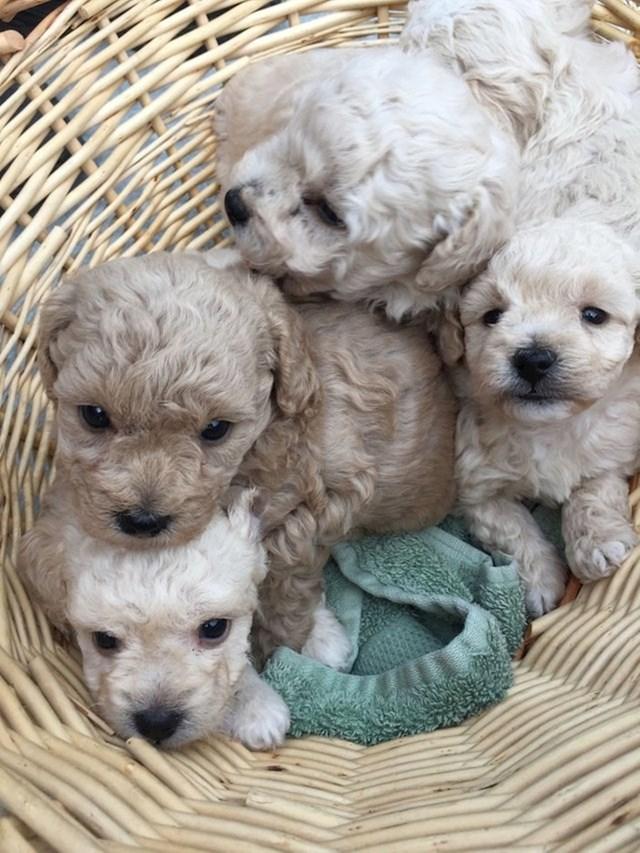 Ovi slatki štenci su mješanci pudlice i kovrčavog bišona.