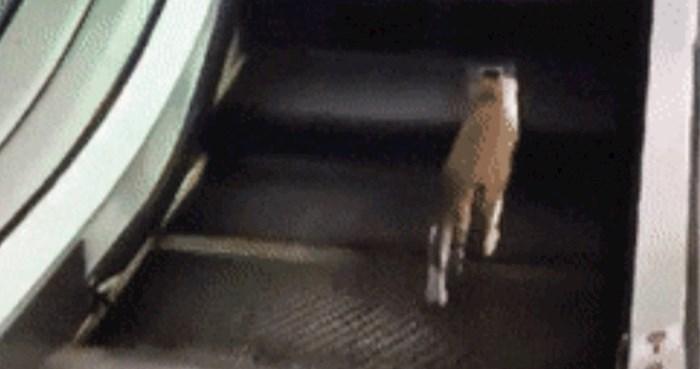 Netko je snimio smiješnu mačku koja je našla zanimljivu (i besplatnu) zamjenu za teretanu