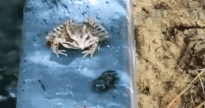 Žaba je pažljivo gledala kako ručak hoda prema njoj, no onda se dogodilo razočaranje i smiješna reakcija