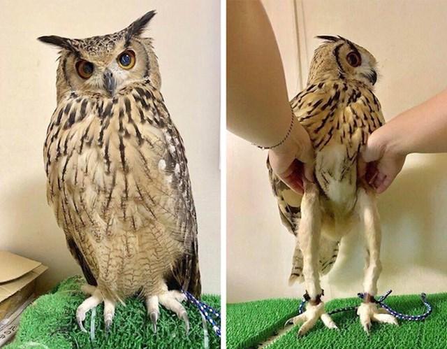 Čini se da sove ispod svog tog perja imaju par dugih nogu.