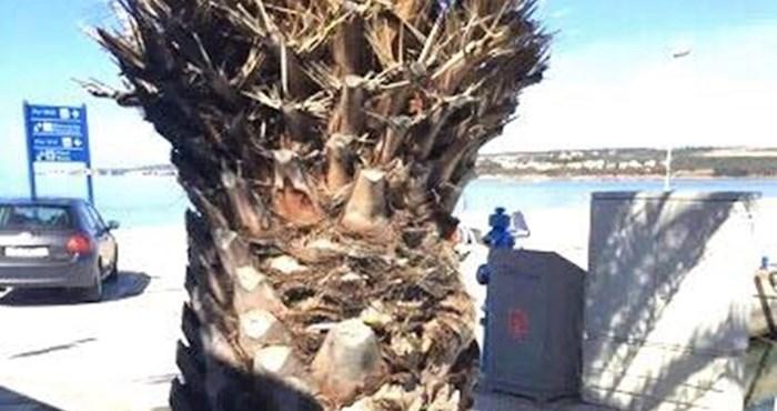 Ljudi u Biogradu nisu bili pretjerano oduševljeni kad su vidjeli kako je netko ukrasio ovu palmu