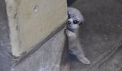 Japanski fotograf je slikao sramežljivu bebu markata koja je trebala malo vremena kako bi se opustila