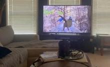 VIDEO Mačka je pokušala uloviti ptice s TV-a, vlasnik je snimio trenutak urnebesnog promašaja