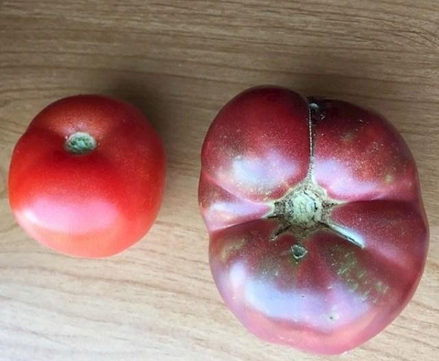 Moderna rajčica i rajčica uzgojena od sačuvanih sjemenki starih 150 godina