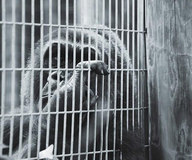 Čekali su trenutak da gorila pogleda prema slobodi i uhvati ogradu.