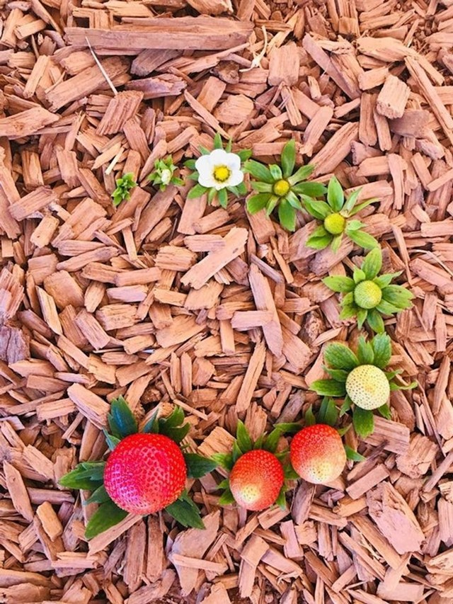 Životni ciklus jagode