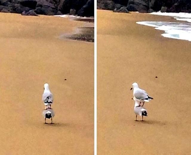 Najobičnija fotka na kojoj jedan galeb stoji na drugom. Ništa čudno.