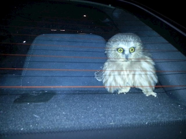 Ova sova je uletjela u nečiji auto. Bila je šokirana kad su je našli.