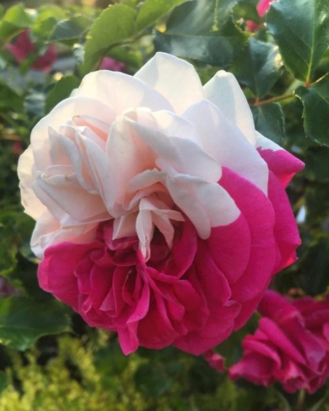 """""""Ovakvu ružu još nikad nisam vidjela..."""""""