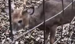 VIDEO Lovci su pomogli malom jelenu u nevolji, a onda ih je začudila njegova reakcija