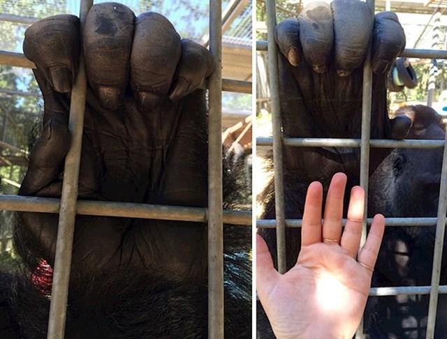 Gorilina i ljudska šaka