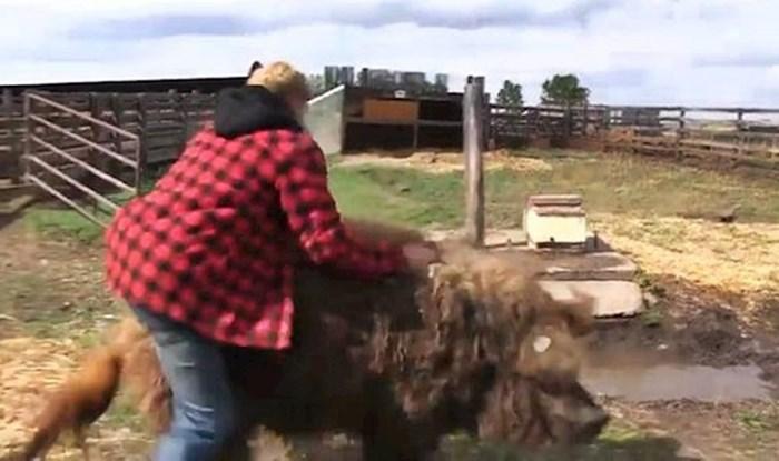 VIDEO Lik je pokušao jahati na svinji, ona mu se osvetila na najgori moguć način