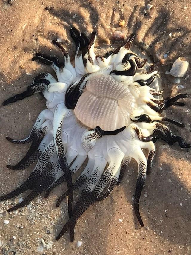 Netko je na plaži pronašao životinju koja izgleda kao da nije s ovog planeta. Na raspravama na internetu ljudi su utvrdili da je riječ o moruzgvi Dofleinia armata.