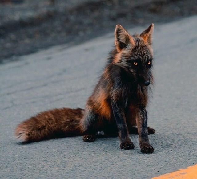 Tamna lisica