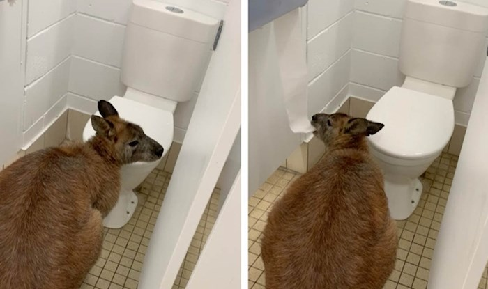 Ušli su u javni WC pa unutra našli tvrdoglavog klokana koji nije htio odustati