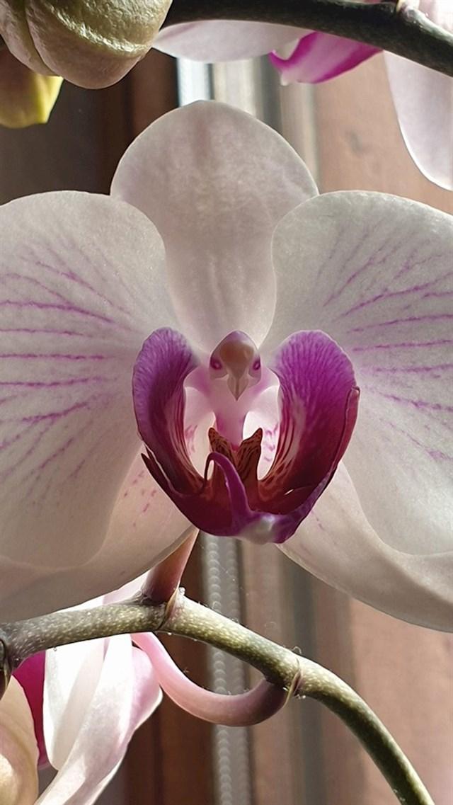 """""""Ova orhideja ima cvijet koji u sredini izgleda kao ptica."""""""