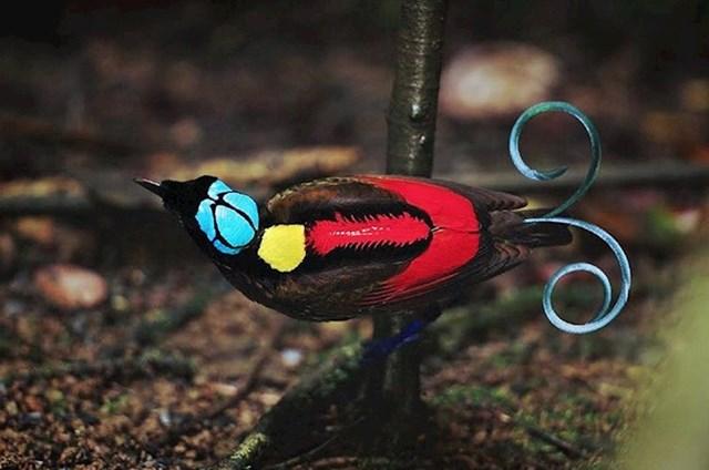 Wilsonova rajska ptica zbog svojih boja i ukrasa izgleda kao da je fotošopirana.