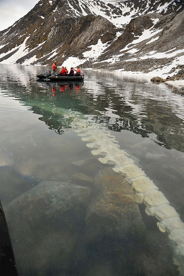 Kralježnica uginulog kita slikana na Svalbard otocima (Norveška)