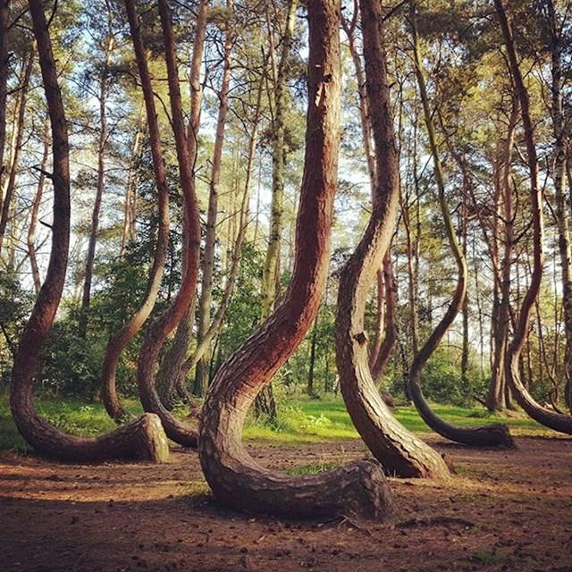 Nitko ne zna zašto je ova šuma čudnog oblika...