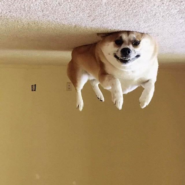 I ovaj pas voli promatrati svijet naglavačke.
