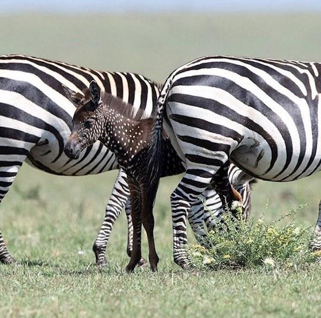 Ova mala zebra umjesto pruga ima bijele točkice.