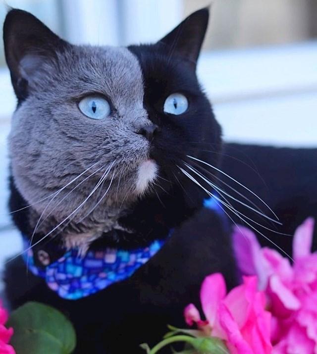 Himera mačka sa sivom-crnim licem (dobila je mačiće - jedno sivo, jedno crno!)