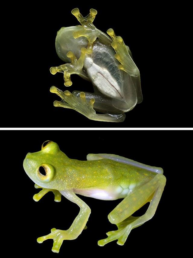 Ova žaba je djelomično prozirna, zbog toga je poznata i kao staklena žaba.