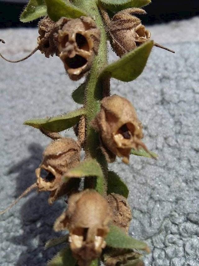 Na ovoj biljci rastu cvjetići koji kasnije izgledaju kao mrtvačke glave.